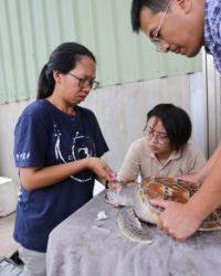 水產試驗所將綠蠵龜進行驅蟲處理。(金門駐地記者/吳旻高攝影)