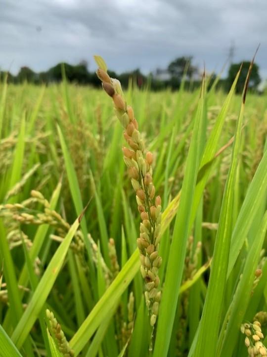 霧峰、烏日台農71號稻米農損。(記者劉明福翻攝)