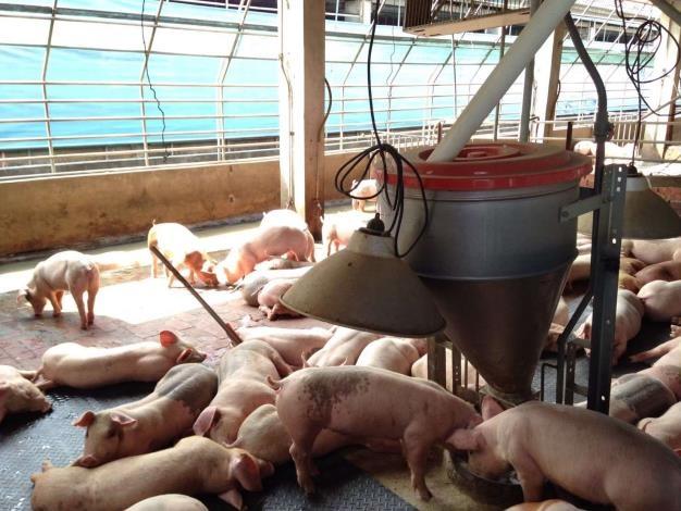 生鮮豬肉重返外銷 雲縣府積極輔導產業升級與出口。(記者張達雄攝影)